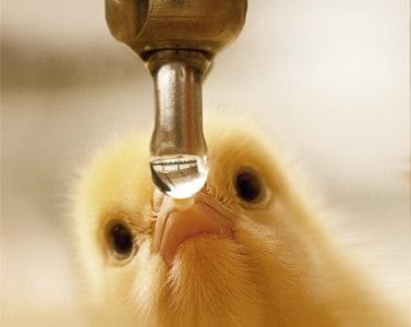 اسیدیفایر در آب آشامیدنی جوجه گوشتی